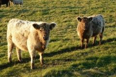 Schwansener See Rinder